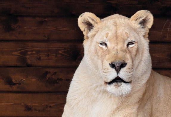 Weißer Löwe im Blåvand Zoo
