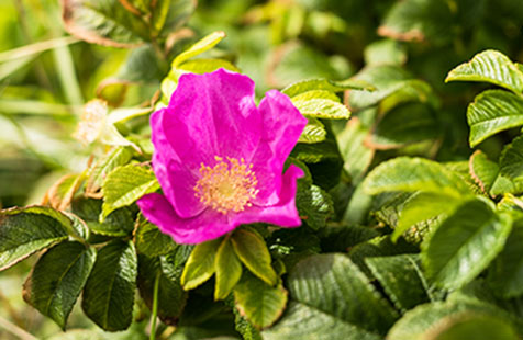 Rosa rugosa in Dänemark nicht sehr beliebt