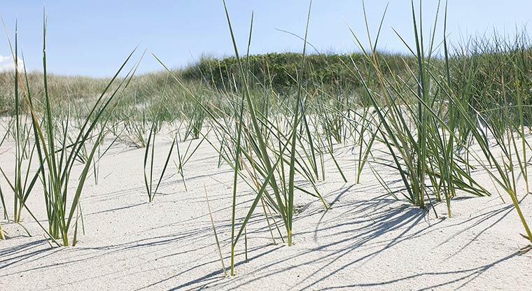 Neu gepflanzter Strandhafer in den Dünen
