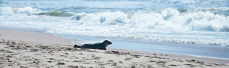 Seehund am Strand in Dänemark
